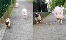 ネコがブタを散歩する仲良すぎる映像が話題に
