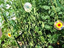 ガレージ上野菜菜園:カラス!(怒)