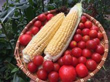 夏本番の収穫開始