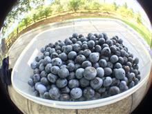 今年最後のBlueberry picking