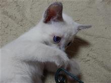遂に!!珍猫誕生(≧▽≦) 白いロシアンブルーの秘密♪ (猫ブログ)