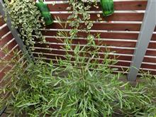 神奈川基地のベランダの植木への水やり装置を簡単に作りましたが・・・・