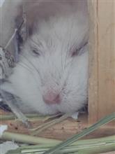 健やかなまるこ♀の寝顔