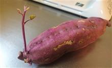 サツマイモから芽が~♪