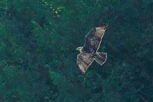 多摩川中流域へ猛禽類撮影修行