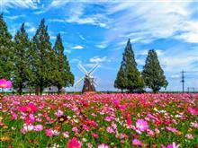 秋桜に逢いにドライブ♡