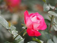 人々から愛される花