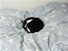今年も羽毛布団猫、始めました