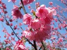 緋寒桜の苗木を購入