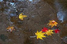 雨の中の近所の紅葉