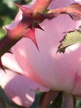 🍁紅葉じゃなくて. . .  🌹薔薇の花を見に…..