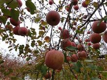 ピカ家恒例の南信州松川でリンゴ狩り。