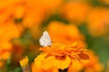 蝶が舞う今日この頃