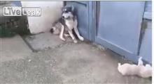 子犬を驚かせた父犬、母犬に激怒される動画が面白いと話題に