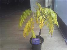 拾った藤の挿し木と種まきと1才藤