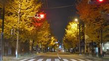 都内の街路樹銀杏が絶好調!