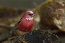 真っ赤な鳥さん、オオマシコに合いに!!
