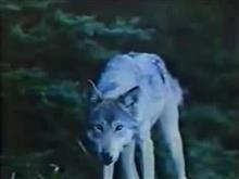 狼は走らない