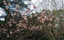 桜とロウバイ