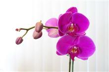 蘭の花の寿命