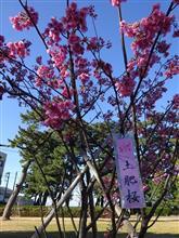 真冬に春をたずねて、土肥桜まつり初日