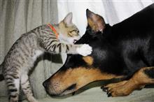捨て猫チョコの今 その1 巨大犬との出会い