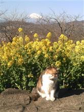 立春に猫も菜の花ウオッチング