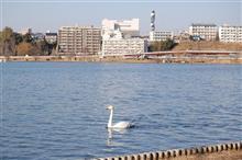 千波湖の春の風景・・・鳥インフルの最中。