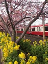 三浦海岸の河津桜