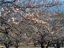 所沢航空記念公園の梅。
