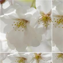 3本目の桜咲く♪♪♪