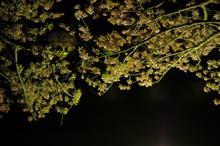 飽きない私 南の夜桜 (^^;;