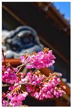 今年も、緋寒桜見に行きましたよ!