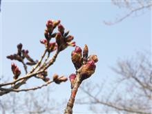 今年の桜は・・・・