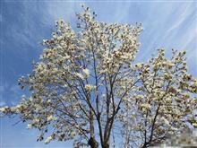 今年の白木蓮も見納め近し…