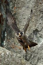 猛禽類ハヤブサ撮影 パート2