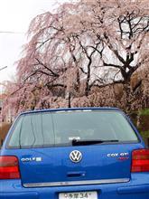 やっぱり「枝垂れ桜」は綺麗だな~