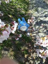 桜開花 ・ω・*)