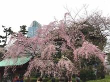 「増上寺」のしだれ桜、いま花盛り!!