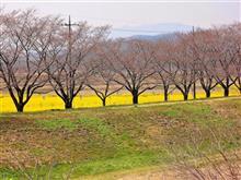 桜の国 古戦場の菜の花