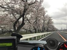 続、通勤路の桜