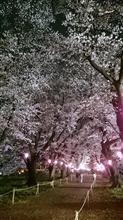 強風な夜桜♪