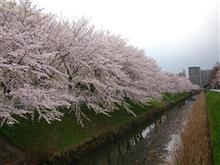 桜の花がとても綺麗です!!!