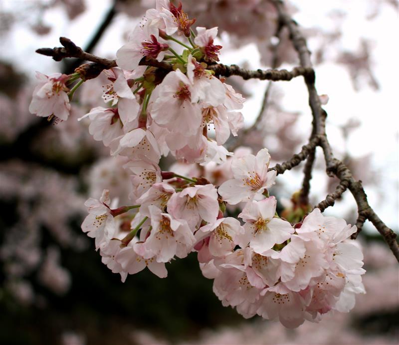 川根の桜まつり