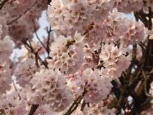 神代桜(山梨県北杜市武川)
