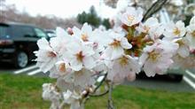 桜満開!いざ秩父へ