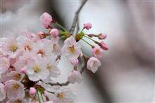 桜撮影ドライブ♪