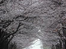 やっと桜が見ごろになりました。