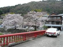 今年の桜・・・