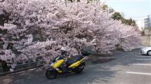 今年の桜はこれ